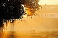 Dawn Patrol (Geoff Henson) Tags: fox wildlife dawn daybreak sunrise sunrays tree willow mist fog haze house wall grass sunshine