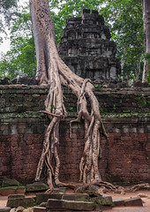 Temple overgrown with tree roots, Siem Reap Province, Angkor, Cambodia (Eric Lafforgue) Tags: abandoned ancientcivilisation angkor angkorwat apsara archaeology architecture artscultureandentertainment asia beautyinnature buddhism buddhist builtstructure cambodia colourimage environment famousplace history indochina khmer lush majestic monument nopeople oldruin outdoors rediscovered religion root ruin southeastasia spirituality temple templebuilding tetramelesnudiflora traditionallycambodian tranquility travel traveldestinations tree unescoworldheritagesite vertical wat yasodharapura camboimg9842 siemreapprovince