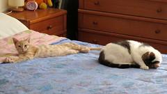 396-July'18 (Silvia Inacio) Tags: mel tabby gata gatos cat cats soneca gato kitten