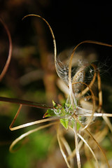 Zaaddozen - Seedpods (brigittefotografie) Tags: appeltern herfstkleuren autumncolors najaar fall oktober octobre macro bloemen flowers zaaddozen seedpods tuinen gardens planten plants