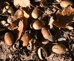 (:Linda:) Tags: germany thuringia village bürden acorn oaktree