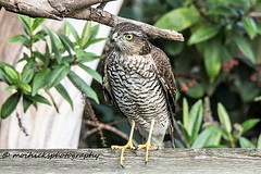 Sparrowhawk. Female. (Susie) (vampiremoi) Tags: garden female sparrowhawk susie raptor perched nikon d500 tamron 150600 g2 nature