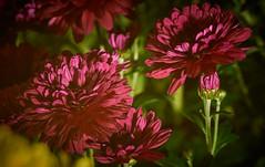 Chrysanthemum (Brian Mangus) Tags: flower red stem yellow bokeh vignette petal chrysanthemum mum maroon macro green