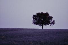 Lonely Tree (edited) (PinoyFri) Tags: fog morningmist baum árbol arbre albero 나무 樹 puno ツリー boom árvore cây meadow lawn grassland 牧草地 목초지 prado