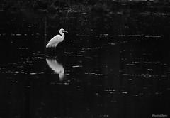 contrast (Bhushan Barve) Tags: getolympus olympuspro olympusproindia blackandwhite monotones konkan birds omd em10