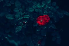 rose (N.sino) Tags: m9 summilux50mm rose redrose 薔薇 赤い薔薇 花 赤い花 バラフェスタ 神代植物公園