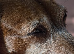 Lost In Thought (ACEZandEIGHTZ) Tags: nikon d3200 pet gaze eyes dog canine family stare old coth5 coth