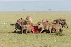 Spotted Hyena's - Crocuta crocuta (rosebudl1959) Tags: 2017 kenya masaimara zebraplains hyenas