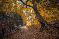 Autumn Trees (michel1276) Tags: autumn herbst wald woods forest baum bäume batis1828 batis2818 sonya7iii sony