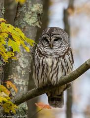 Barred owl - New Jersey (superpugger) Tags: owl owls barredowl barredowls newjerseywildlife bird birds birding wildlife birdwatching newjersey newjerseynature nature naturephotography birdphotography owlphotography strixvaria strix