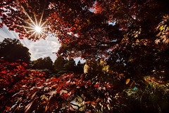 Acer & Pampas (with a f22 starburst) (Splat Photo) Tags: sheffield park gardens susses sony a7iii a7m3 sel1224g starburst f22 autumn ilce7m3
