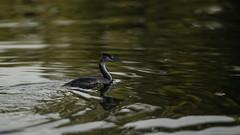 Great crested grebe resurfacing (PChamaeleoMH) Tags: birds fauna wimbledonpark greatcrestedgrebe