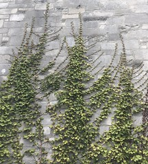 Ivy on the wall (SplashH2O) Tags: ivy wall crawling growing up green mansion