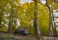 Fall Farewell (Nick Scobel) Tags: eastern massasauga rattlesnake rattler sistrurus catenatus michigan venomous snake pit viper scales pattern coiled tongue flick scenic autmumn fall color leaves forest trees yellow wide angle habitat