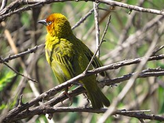 Cape Weaver  /Kaapse Wewer (Pixi2011) Tags: birds rietvleinaturereserve southafrica africa nature coth coth5