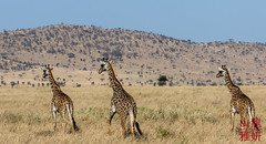 Maasai Giraffe (DragonSpeed) Tags: 28thkitsilanoscoutgroup 28thvancouverscoutgroup africa africanwildcatsexpeditions giraffacamelopardalistippelskirchi maasaigiraffe masaigiraffe safari scouts scoutscanada serengetinationalpark seroneraregion tanzania tanzaniaexpedition2018 venturerscouts venturers mammal simiyu tz