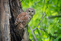 Woodland Sentry... {explore} (DTT67) Tags: barredowl owl birdofprey raptor bird maryland 1dxmkii canon woodlands woods forest wildlife nature
