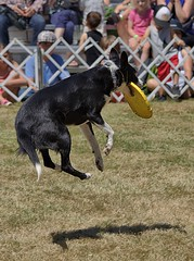 Jump Catch (Scott 97006) Tags: dog canine animal show catch leap performance stunt trained