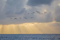 Flight Lines (gseloff) Tags: brownpelican birds flight bif crepuscularrays ocean water clouds sky sunrise bolivarflats gulfofmexico galvestoncounty texas gseloff
