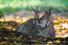 That Look (The Wasp Factory) Tags: eurasianlynx lynx eurasischerluchs nordluchs luchs lynxlynx tierparksababurg tierpark sababurg wildlifepark wildpark