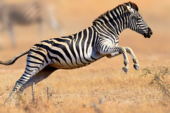 483230252 (kaylierbontrager) Tags: herbivorous photography nopeople midair oneanimal grass plainszebra armsraised jumping running speed highup wildlife nature outdoors fullframe horizontal sideview southafrica zebra horsefamily mammal animal field savannah grassarea krugernationalpark foot