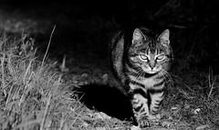 Cat walk (Zèè) Tags: cat chat cats black bw blackandwhite white noirblanc noir nature normandy normandie blanc monochrome
