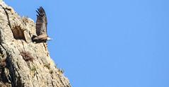 Vautours (jean-michel radet) Tags: oiseau vautours pays basque rapaces animal ciel bird sky