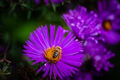 Purple ... (Julie Greg) Tags: flower flowers colours purple bee nature nautre details garden england kent canon macro plant