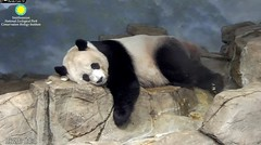 2018_10-07b (gkoo19681) Tags: meixiang beautifulmama sopretty proudmama adorableears fuzzywuzzy feetsies naptime comfy toocute adorable contentment precious cublike meltinghearts amazing foreveryoung perfection ccncby nationalzoo