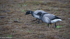 Prutgäss (Hans Olofsson) Tags: bird fågel gås natur oktober ptrutgås öland ottenby