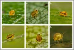 Springtail Hunt (Ed Phillips 01) Tags: sminthurinus aureus collembola springtail macro mpe staffordshire