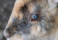 A Reflection in the Eye of a Rabbit (fotographis) Tags: reflection rabbit eye macro closeup rabbitisland bunnyisland japan hiroshima sonya7riii sony zeiss 85mm
