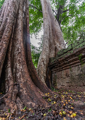 Temple overgrown with tree roots, Siem Reap Province, Angkor, Cambodia (Eric Lafforgue) Tags: abandoned ancientcivilisation angkor angkorwat apsara archaeology architecture artscultureandentertainment asia beautyinnature buddhism buddhist builtstructure cambodia colourimage environment famousplace history indochina khmer lush majestic monument nopeople oldruin outdoors rediscovered religion root ruin southeastasia spirituality temple templebuilding tetramelesnudiflora traditionallycambodian tranquility travel traveldestinations tree unescoworldheritagesite vertical wat yasodharapura camboimg9668 siemreapprovince