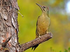 Pito real (Picus viridis)  (19) (eb3alfmiguel) Tags: aves pájaros carpinteros pito real picus viridis
