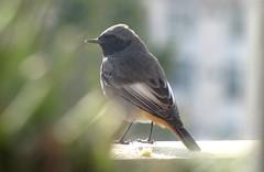 Codirosso spazzacamino (maschio) (Dochac - Meteorologist) Tags: codirosso codirossospazzacamino blackredstart blackredtail blackstart volatili uccelli uccellini volatiliselvatici birds wildbirds nature