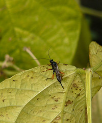 Ichneumon Wasp II (Dr Nigel) Tags: northeast england panasonic lumix dmcfz8 durham durhamcity introductiontophotography photography course stmargarets allotments wildlife nature insect wasp ichneumon