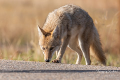 October 5, 2018 - A young coyote on the prowl.  (Tony's Takes)