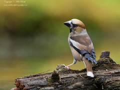 Hawfinch (Coccothraustes coccothraustes) (www.mikebarthphotography.com 1.5M Views thanks !) Tags: coccothraustescoccothraustes hawfinch