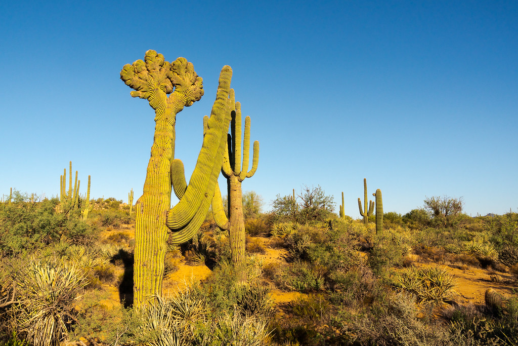 A double crested saguaro grows along the Coyote Canyon Trail in McDowell Sonoran Preserve