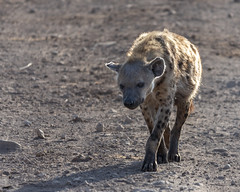 Spotted hyena (RedPlanetClaire) Tags: eastafrica tanzania nationalpark safari african ngorongorocrater worldheritagesite conservationarea spotted hyena wild animal