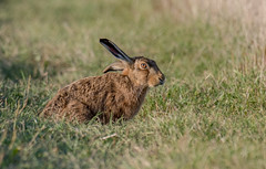 DSC7063  Brown Hare.. (jefflack Wildlife&Nature) Tags: brownhare hare hares mammal animal animals wildlife wildlifephotography jefflackphotography farmland fields heathland hedgerows crops countryside norfolk nature