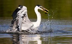 Gray heron with piranha (paolo_barbarini) Tags: grey heron piranha nature birds wildlife pantanal brazil