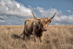 Highland Cattle - Dartmoor (pm69photography.uk) Tags: highlandcattle cattle devon dartmoor southwest aurorahdr2018 horns moody moors sony sonya7r3 sonya7riii voigtlander voigtlandernokton 40mm voigtander40mm