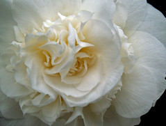 White Camellia (Cornishcarolin. Stupid busy!! xx) Tags: cornwall httpswwwnationaltrustorguktrelissick nature flowers camellia