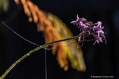Autumnal morning (frattonparker) Tags: afsnikkor28300mmf3556gedvr btonner bokeh isleofwight lightroom6 nikond810 raw frattonparker dew mist backlit contrejour
