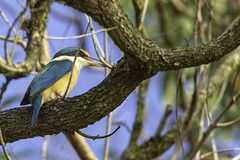 Sacred Kingfisher (Arcus Cloud) Tags: bird birds birding birdphotography birdwatching birdspotting australia australianwildlife australianbirds animal wildlife wildlifeandnature wildlifephotography wildlifephoto wild nature nsw naturalworld naturewatcher natural
