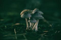 Huddled (Sarah Rausch) Tags: mushroom macro colourfushion sony cluster huddled green