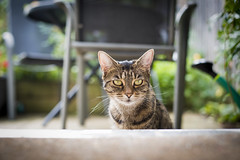 Garden Cat (Reckless Times) Tags: cat lola pussy tiger bengal garden summer bright house home nikon d750 nikond750 100x