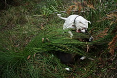 Pounce! (Painful, slow internet:() Tags: boxer dog grass