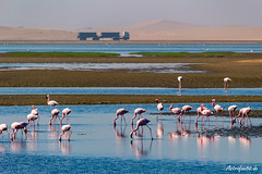 Flamingo Saline of Walvis Bay (astrofan80) Tags: afrika atlantik düne fahrzeug flamingos landschaft meer namibia strand tiere truck urlaub vögel walvisbay
